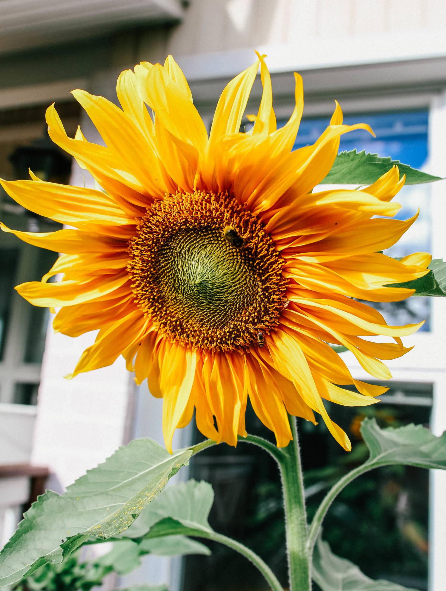Auringonkukkia ja syysmietteitä